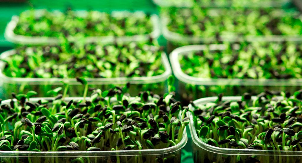 Микрозелень в контейнерах